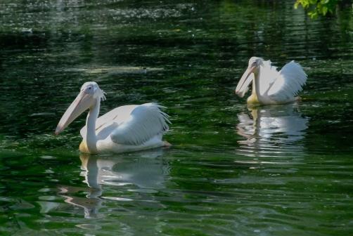 Brzydsza wersja łabędzia, czyli pelikan