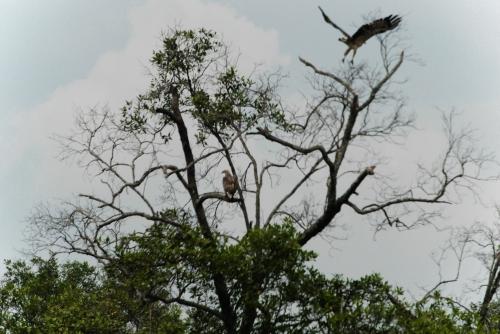 Zdjęcie nieostre, ale wykonywane z łódki. Lasy namorzynowe i orły, które tu mieszkają i polują.