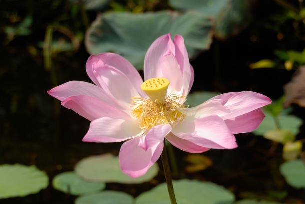 Kwiat lotosu. Rośnie podobnie jak linia wodna w jeziorze, liście przykrywają taflę wody, a kwiaty (dużo większe niż linia) unoszą się nad nimi. Żółta część kwiatu zawiera jadalne nasionka - gdy dojrzeje (stanie się zielona i odpadną płatki kwiatu), nasionka można wykruszyć i zjeść - mają łagodny, migdałowy posmak.