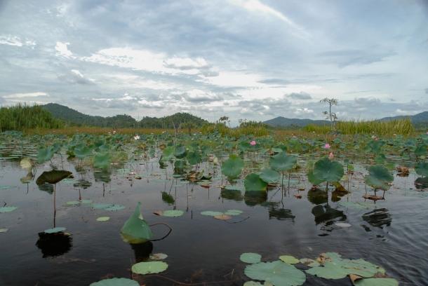 Pełne lotosów jezioro Chini w stanie Pahang