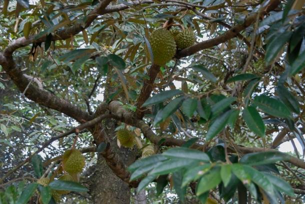 A to duriany na drzewie (są wielkości nieco mniejszej niż arbuz), a drzewo przypomina wysokością kasztanowiec. Z takiego durianowca przy domu cała rodzina ma regularne pożywienie