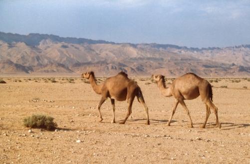Jechaliśmy samochodem w stronę Douz. A tu raptem pojawiły się wielbłądy. Robiąc to zdjęcie czułam się jak reporterka National Geografic - płowe wielbłądy w pustynnej scenerii, a w oddali surowe góry Atlas
