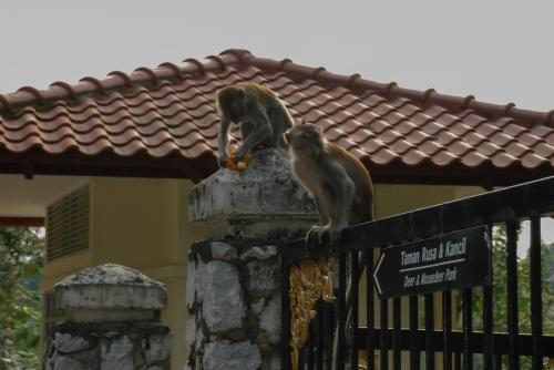 Małpy w Kuala Lumpur. Trudno było je uchwycić aparatem. Korzystając z zapadającego zmierzchu szybko przebiegły przez ulice i wdarły się do czyjegoś ogrodu.