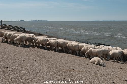 Rzadki widok: owce, żwirowy nasyp i morze